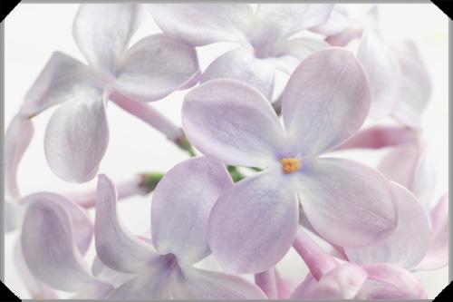 Lilac florets