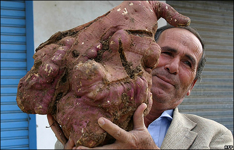 world's heaviest potato [image from the bbc]