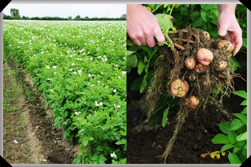 Kerrs pink potatoes