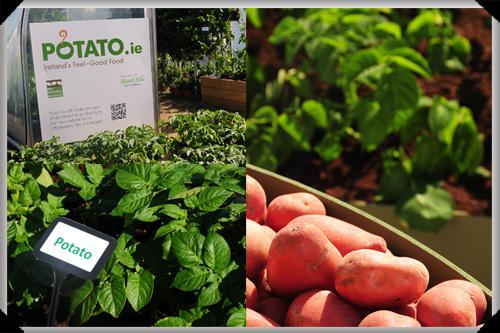 Potatoes at Bloom