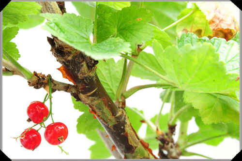Three redcurrants