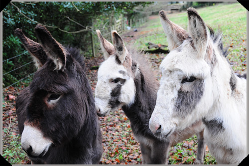Donkeys at Barnabrow