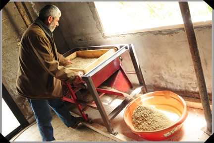 Threshing the zaatar
