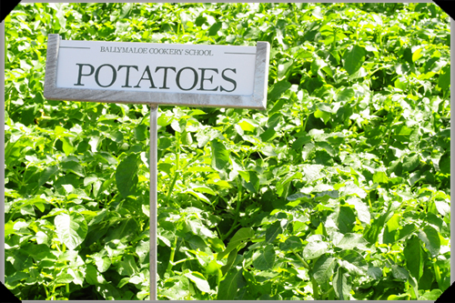 Potatoes at Ballymaloe
