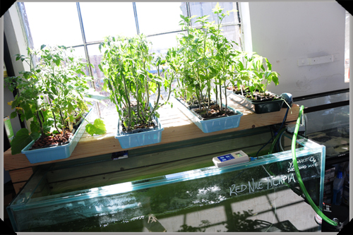 Aquaponics at the Dublin Urban Farm
