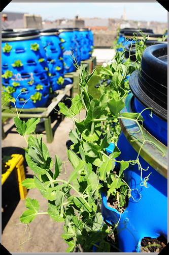Peas growing in barrels