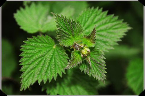 Stinging nettle, handle with care