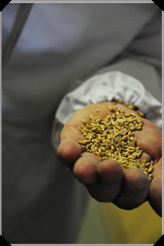 Oats, the stuff of porridge