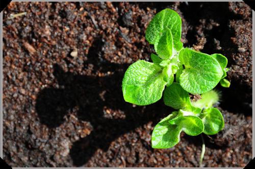 Potato Seedlings