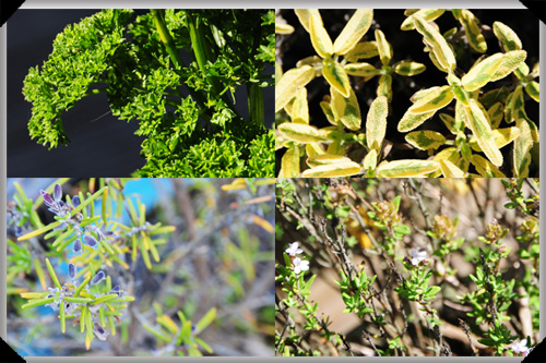 Parsley, sage, rosemary and thyme
