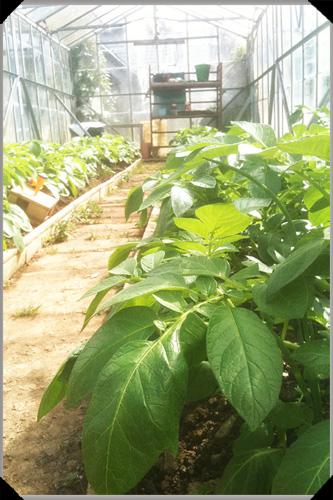 Potatoes in greenhouse
