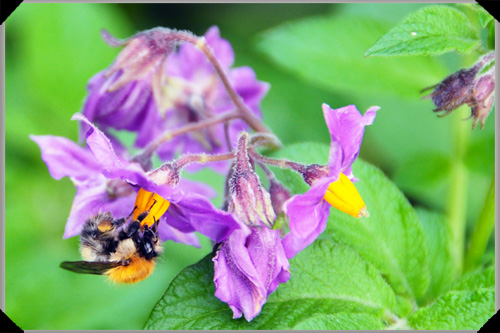 Mayan Gold potato flower and bee