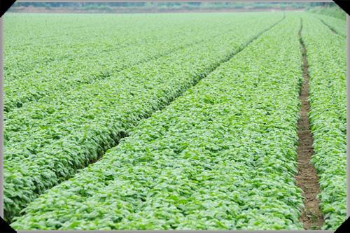 Basil fields