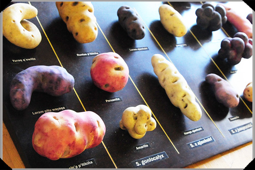 South American Potatoes