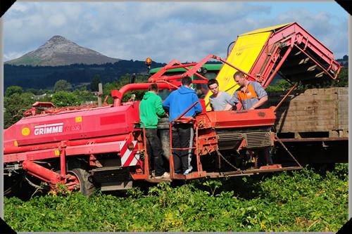 Potato harvesting in Wicklow