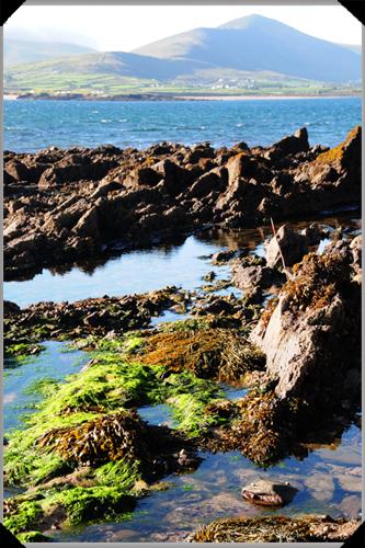 Smerwick harbour seaweed