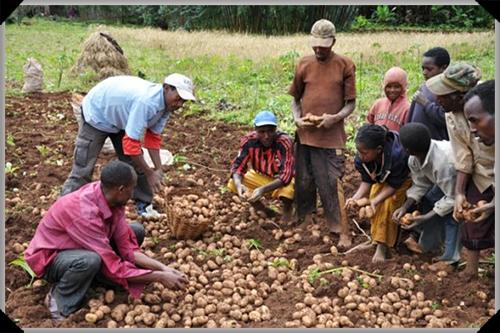 Vita potato farmers