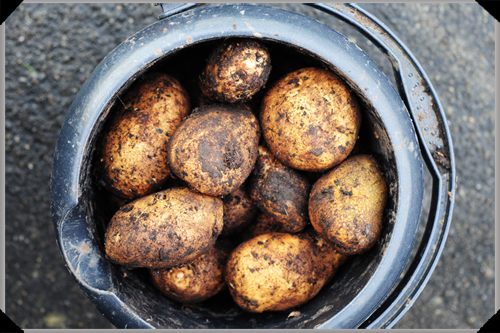 Potatoes in bucket