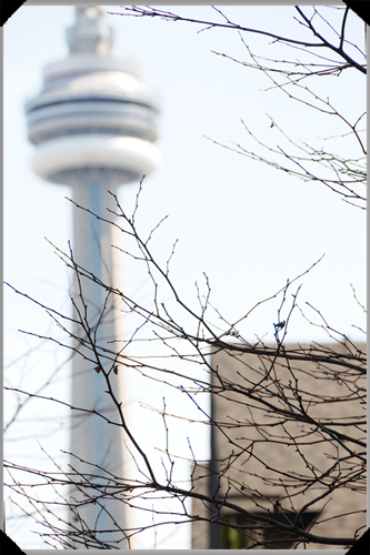 CN Tower through branches