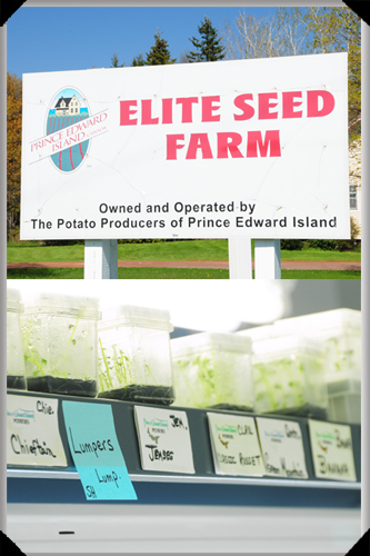 Lumpers at the Elite Seed Farm, PEI